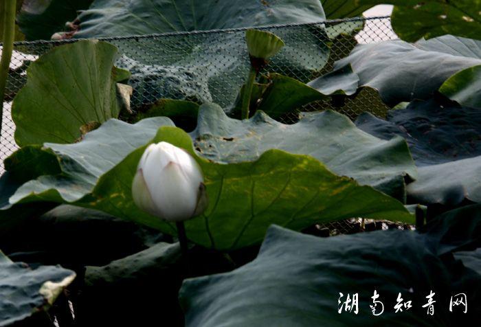 藕花花苞.jpg